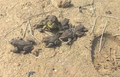 Erdkröten und Teichfrösche auf dem Boden