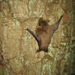 Ein Abendsegler der an einem Baum hängt