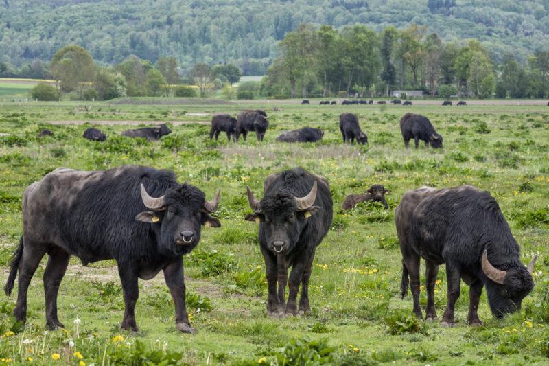 Ausgleichsmaßnahme A 49: Wasserbüffel bei Amöneburg aufgeweidet