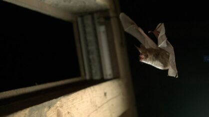 Fledermaus im Segeberger Kalkberg